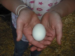 Auracauna egg