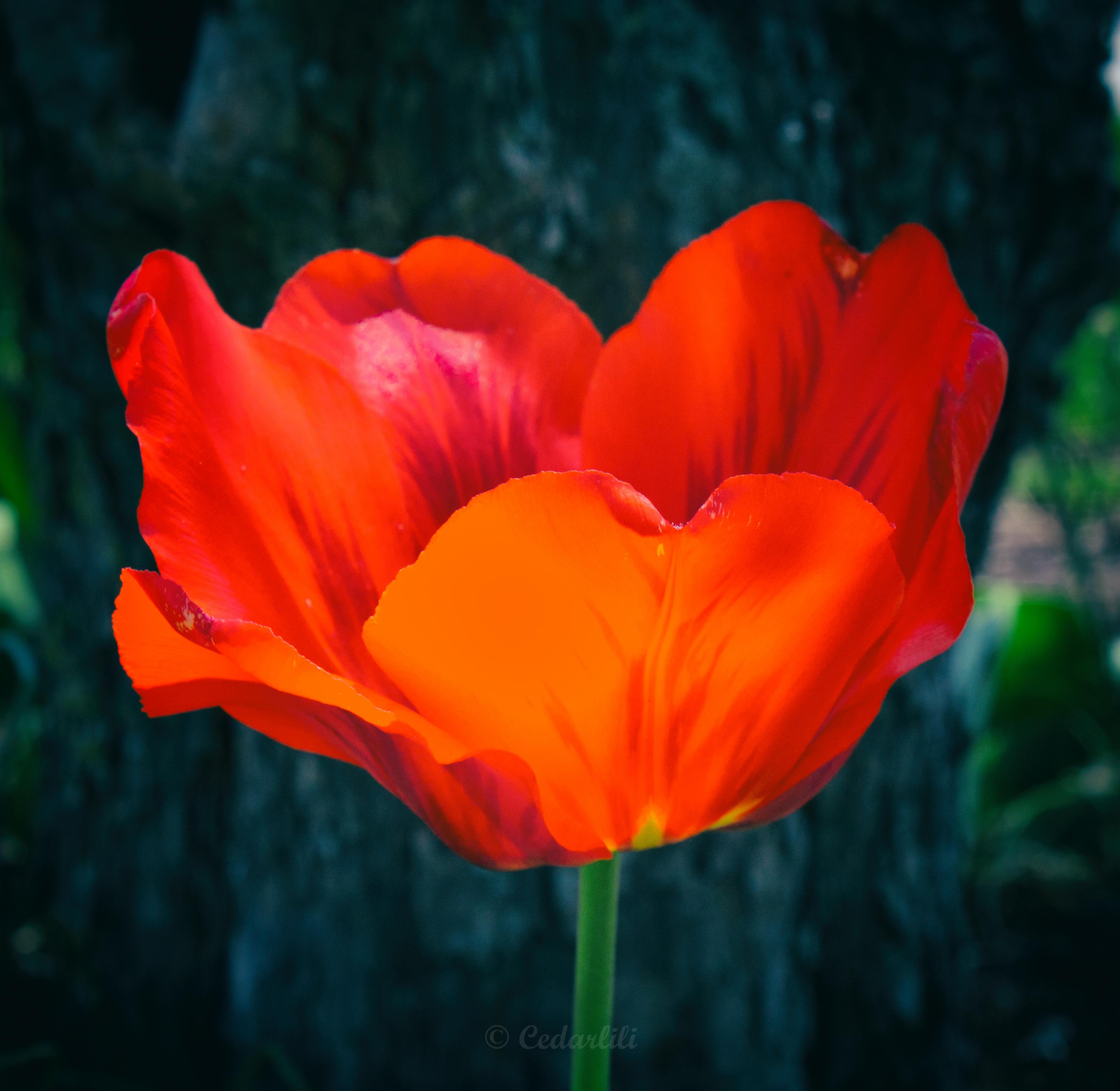 Broken Tulip