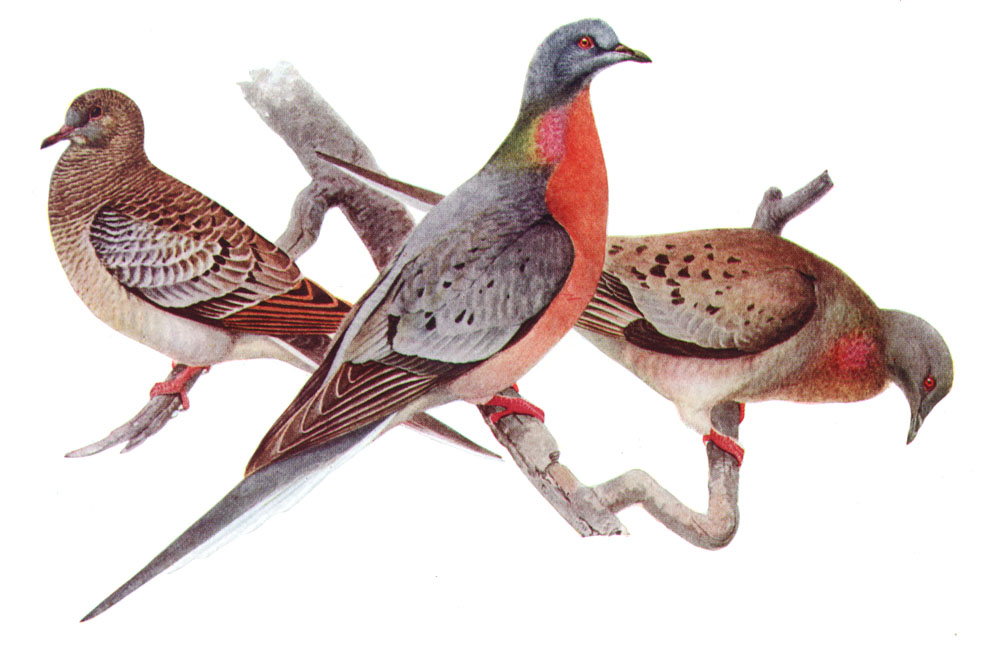Passenger Pigeon credit required