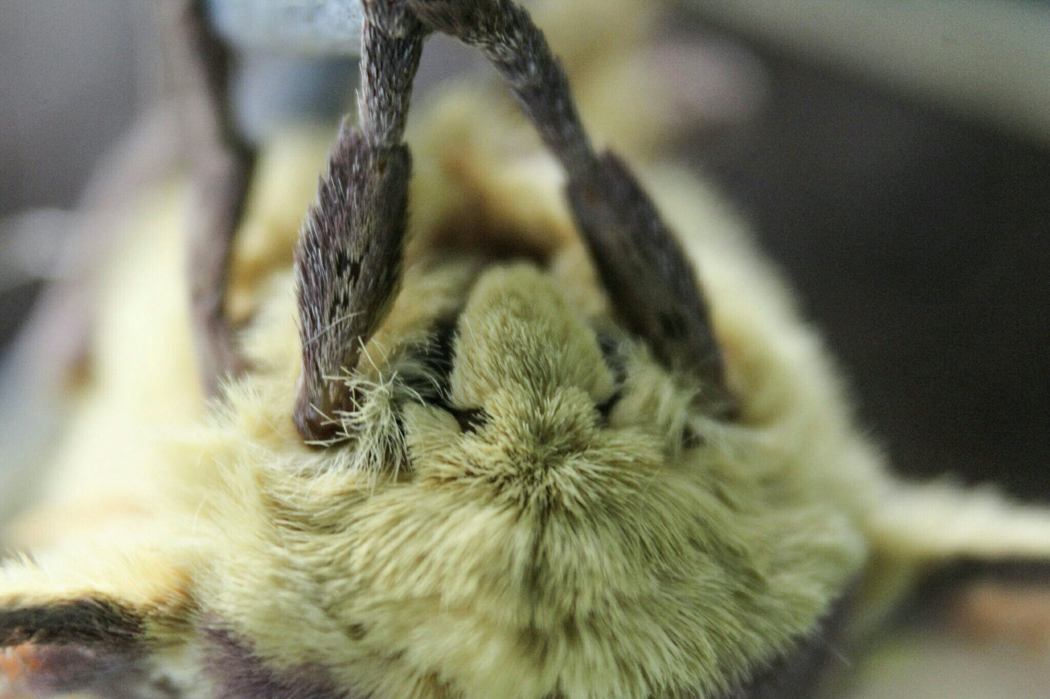 Imperial Moth Face